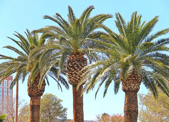 Maintaining Palm Trees In The Vegas Valley