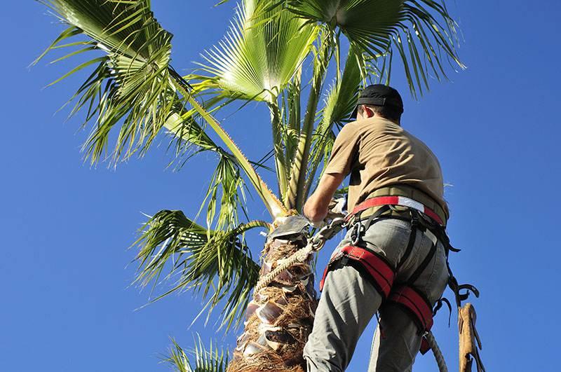 Palm Tree Care Trimming Las Vegas NV