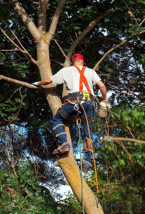 Tree Surgeon Pruning A Tree