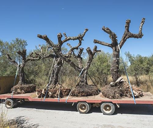 Tree Transplanting Las Vegas NV